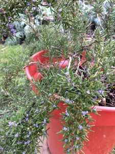 Homegrown Rosemary
